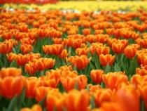 Tulpenmarkt in Amsterdam