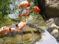 Flamingos in den Everglades