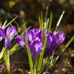 Husum lädt zum Krokusblütenfest ein