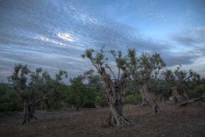 Olivenhain bei Caimari auf Mallorca