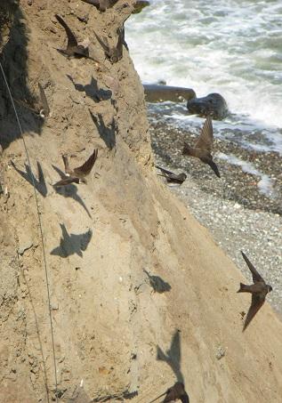 Uferschwalben an der Steilküste